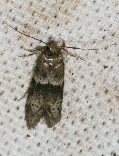 Hypatopa segnella (Zeller, 1873)