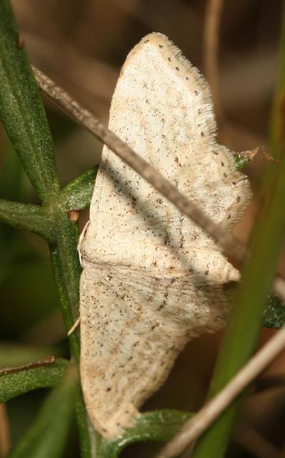 Acidalie allongée Idaea elongaria (Rambur, 1833)