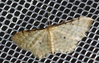 Acidalie familière (L') Idaea fuscovenosa (Goeze, 1781)