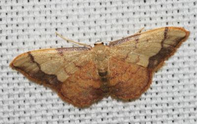 Acidalie purpurine Idaea ostrinaria (Hübner, 1813)