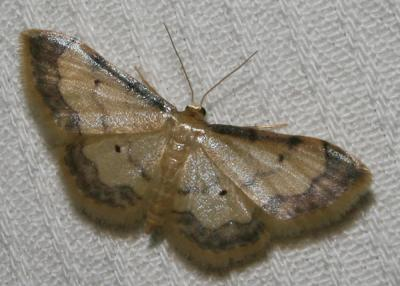 Acidalie glacée (L') , Acidalie luisante (L') Idaea politaria (Hübner, 1799)
