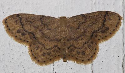 Acidalie suffusée (L') Idaea subsaturata (Guenée, 1858)
