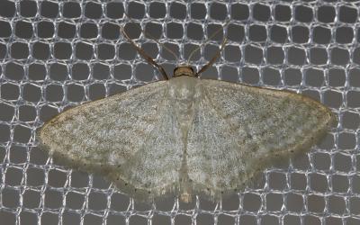 Acidalie blanchâtre (L') Idaea subsericeata (Haworth, 1809)