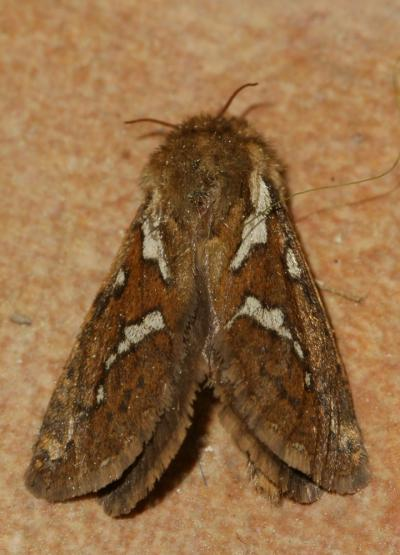 Louvette (La) Korscheltellus lupulinus (Linnaeus, 1758)