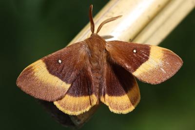 Bombyx du Chêne (Le), Minime à bandes jaunes (Le) Lasiocampa quercus (Linnaeus, 1758)