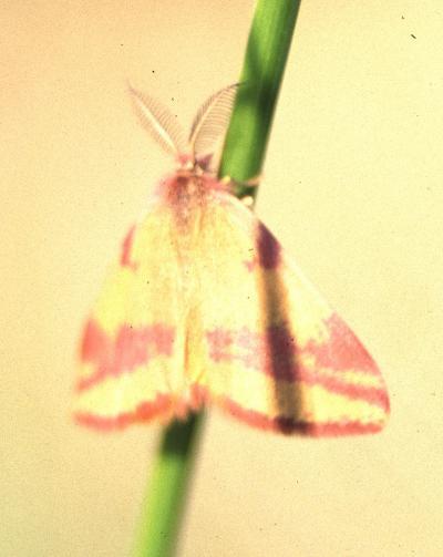 Ensanglantée de l'Oseille (L') Lythria cruentaria (Hufnagel, 1767)