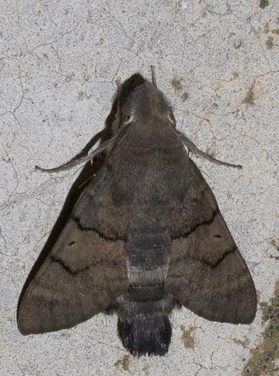 Moro-Sphinx (Le), Sphinx du Caille-Lait (Le) Macroglossum stellatarum (Linnaeus, 1758)