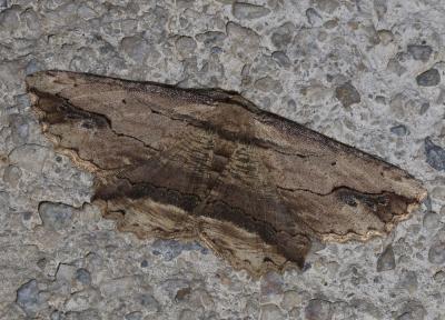 Boarmie pétrifiée Menophra abruptaria (Thunberg, 1792)