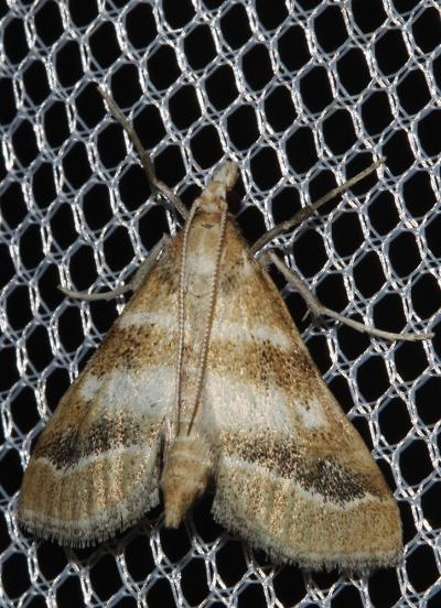 Metasia Metasia suppandalis (Hübner, 1823)