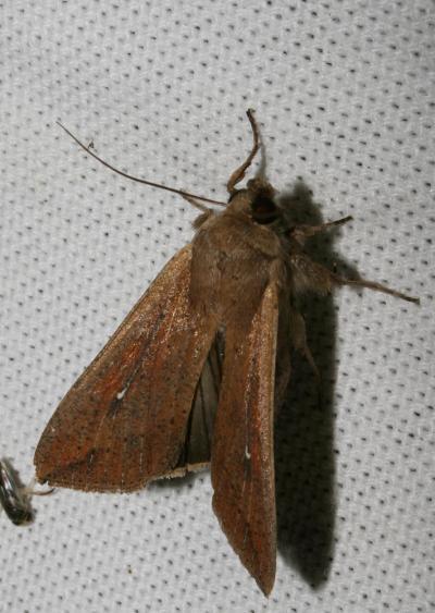 Leucanie orbicole Mythimna unipuncta (Haworth, 1809)