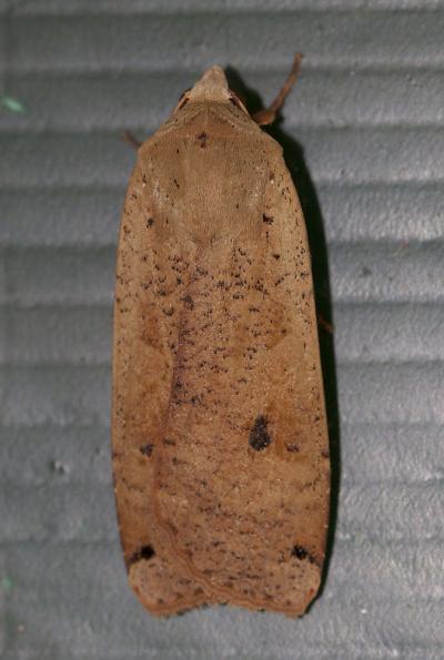 Hibou (Le) Noctua pronuba (Linnaeus, 1758)