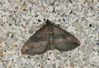 Phalène dimorphe Nycterosea obstipata (Fabricius, 1794)