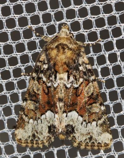 Oligia strigilis (Linnaeus, 1758)