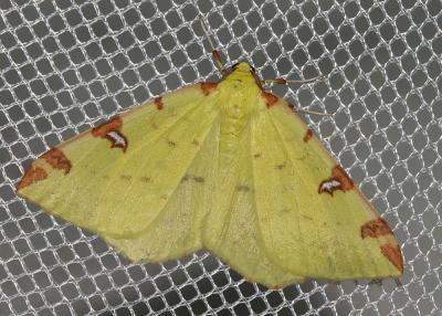 Citronnelle rouillée (La) Opisthograptis luteolata (Linnaeus, 1758)