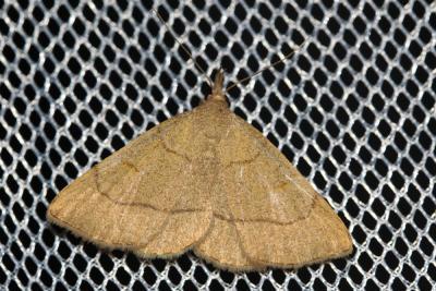 Herminie dérivée (L') Paracolax tristalis (Fabricius, 1794)
