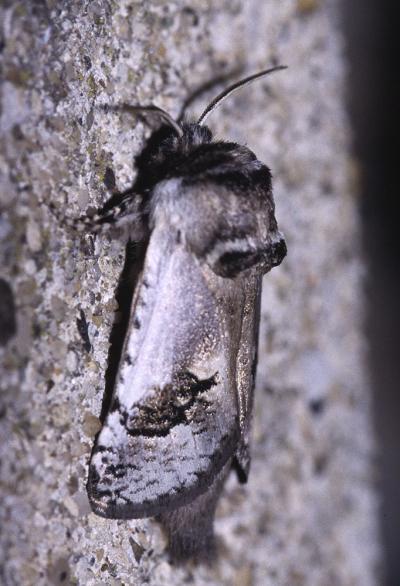 Cossus-touret (Le), Cossus de l'Asperge (Le) Parahypopta caestrum (Hübner, 1808)