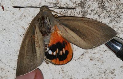 Bombyx du Palmier (Le) Paysandisia archon (Burmeister, 1880)