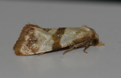Phalonidia contractana (Zeller, 1847)