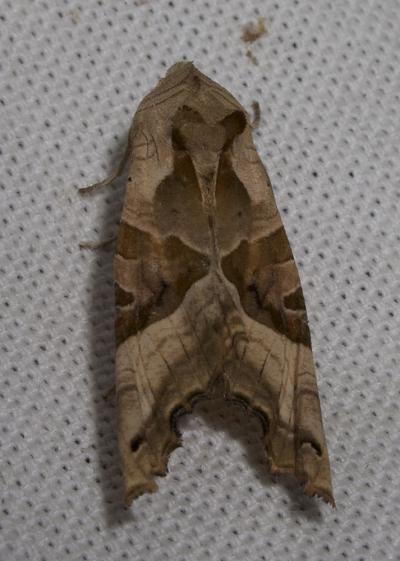 Méticuleuse (La) Phlogophora meticulosa (Linnaeus, 1758)