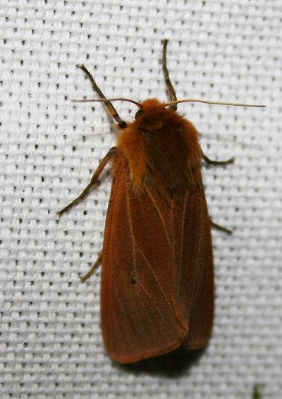 Ecaille cramoisie (L') Phragmatobia fuliginosa (Linnaeus, 1758)