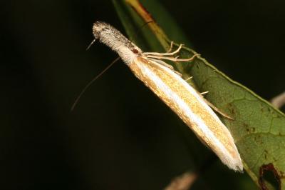 Pleurota aristella (Linnaeus, 1767)