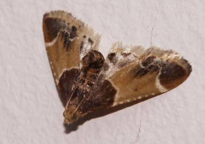 Pyrale de la farine Pyralis farinalis (Linnaeus, 1758)