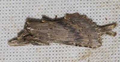 Museau Pterostoma palpina (Clerck, 1759)