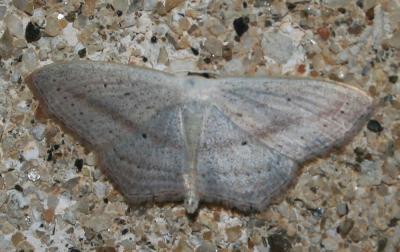 Acidalie des sables Scopula emutaria (Hübner, 1809)