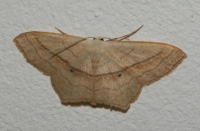 Acidalie fausse-Timandre (L') Scopula imitaria (Hübner, 1799)
