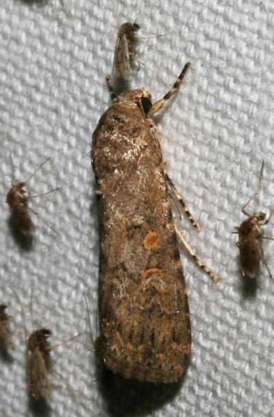 Noctuelle exiguë (La) Spodoptera exigua (Hübner, 1808)