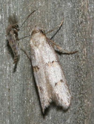 Symmocoides oxybiella (Millière, 1872)