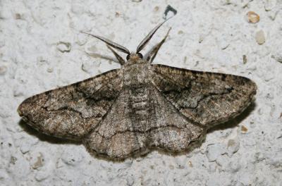 Boarmie compagne (La) Synopsia sociaria (Hübner, 1799)