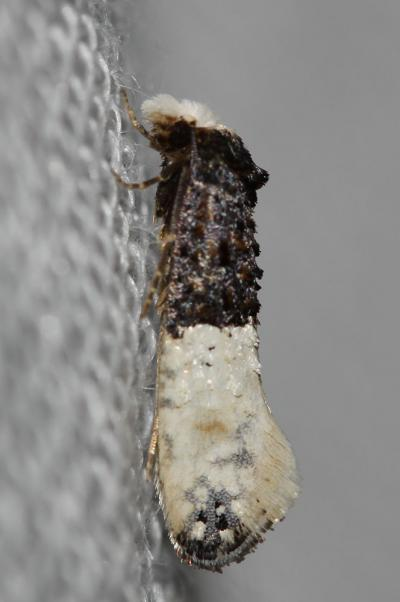 Mite des tapis Trichophaga tapetzella (Linnaeus, 1758)