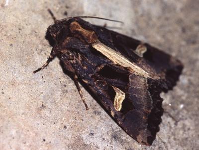 Noctuelle embrasée (La) Trigonophora flammea (Esper, 1785)