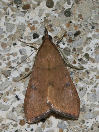 Uresiphita gilvata (Fabricius, 1794)