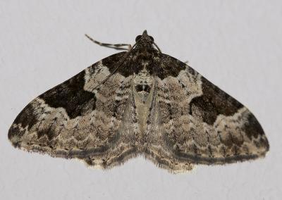 Incertaine (L'), Phalène ondée (La) Xanthorhoe fluctuata (Linnaeus, 1758)