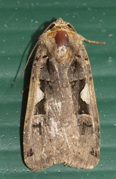 C-noir (Le) Xestia c-nigrum (Linnaeus, 1758)