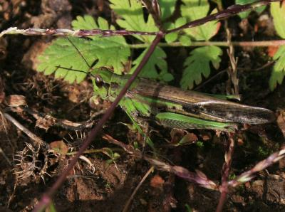 Oedipode émeraudine Aiolopus thalassinus (Fabricius, 1781)