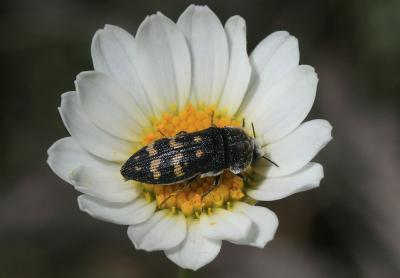 Acmaeoderella flavofasciata (Piller & Mitterpacher, 1783)