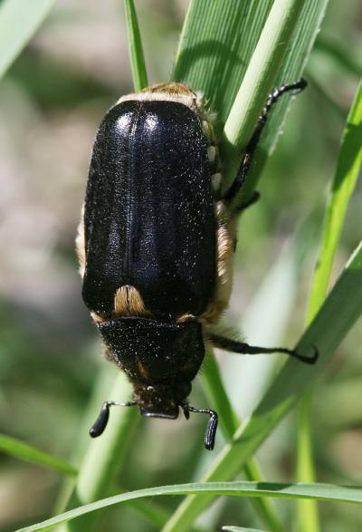 Anoxia scutellaris Mulsant, 1842