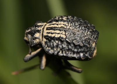 Brachycerus undatus Fabricius, 1798