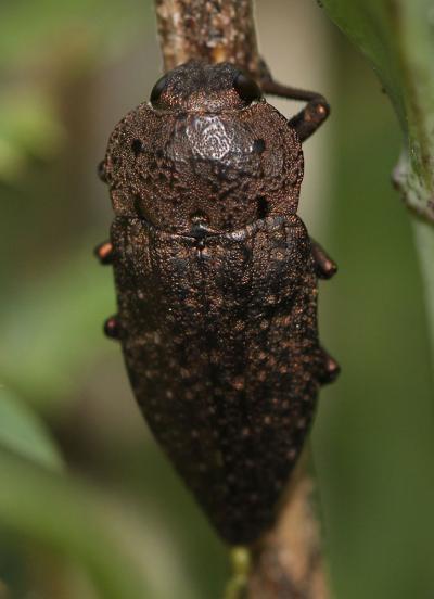 Capnode de l'Oseille Capnodis tenebricosa (Olivier, 1790)