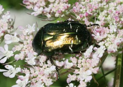 Cétoine dorée (la), Hanneton des roses Cetonia aurata (Linnaeus, 1758)