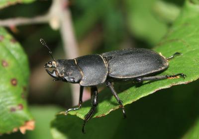 Petite biche, Petite lucane Dorcus parallelipipedus (Linnaeus, 1758)