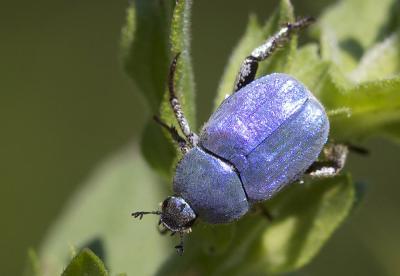 Hoplie bleue (L') Hoplia coerulea (Drury, 1773)