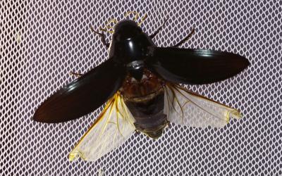 Grand hydrophile Hydrophilus piceus (Linnaeus, 1758)