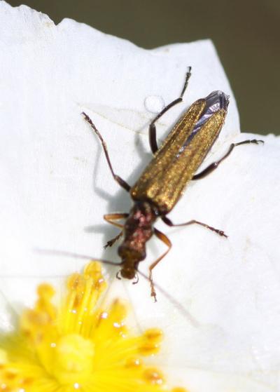 Oedemera flavipes (Fabricius, 1792)