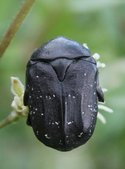 Cétoine noire (la) Netocia morio (Fabricius, 1781)