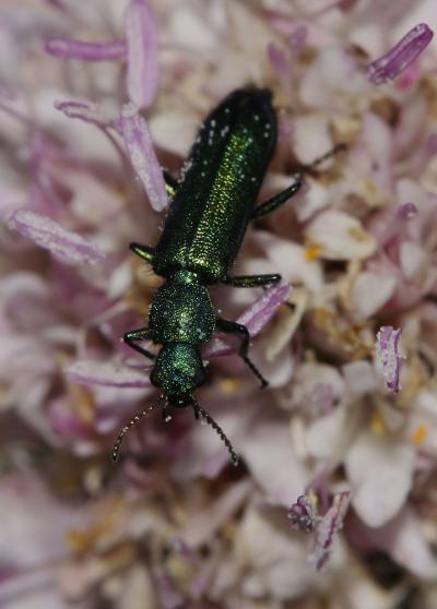 Psilothrix viridicoerulea (Geoffroy, 1785)