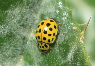 Coccinelle à vingt-deux points Psyllobora vigintiduopunctata (Linnaeus, 1758)